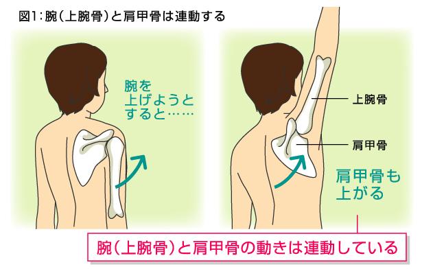「腕を上げる 肩甲骨」の画像検索結果
